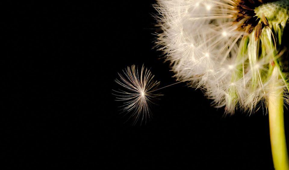 Wish on dandelion